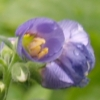 Bild von Polemonium boreale Heavenly Habit